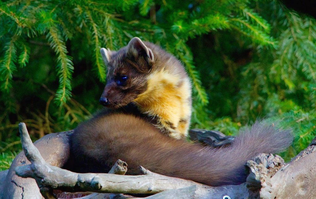 Pine Marten relaxing in the sunshine.