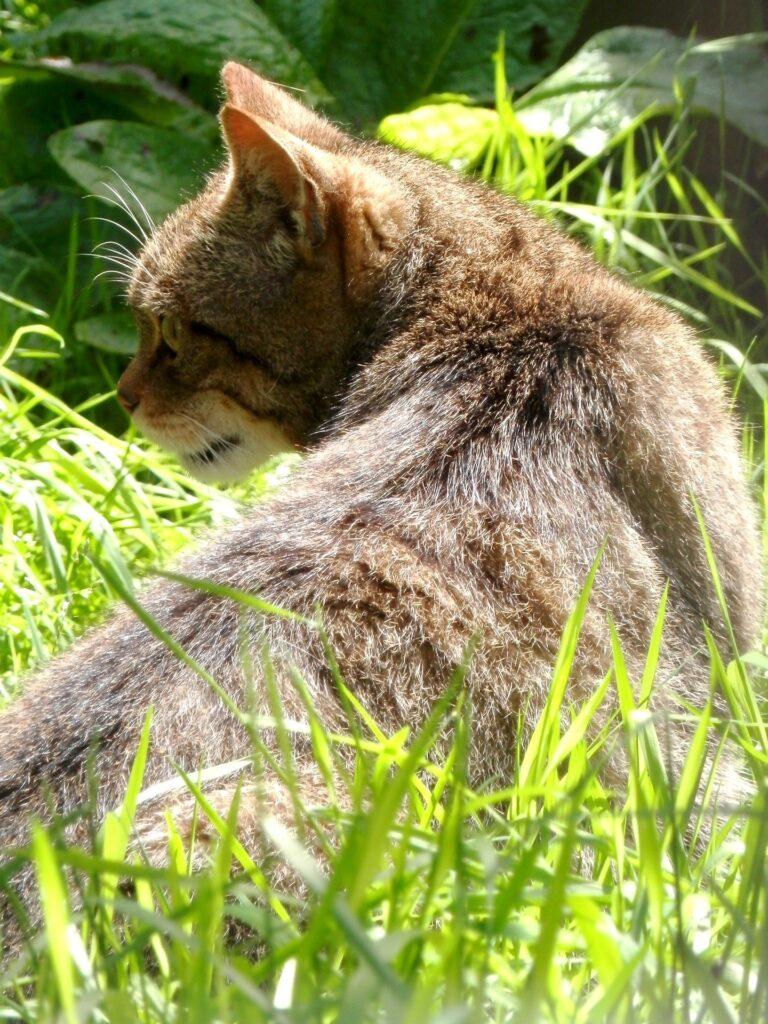 Scottish Wildcat hiding in the undergrowth