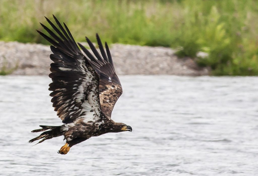 Golden Eagle fishing in the lochs